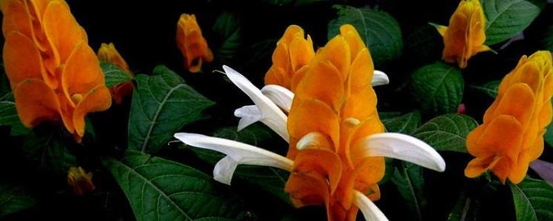 黄金塔花怎么扦插繁殖