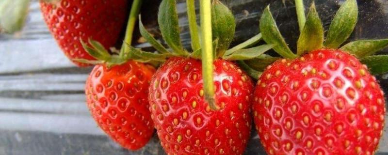 草莓夏天可以种吗