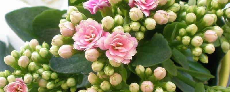 长寿花可以放在室内养吗