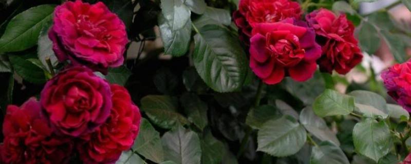 红色藤月季有Which品种