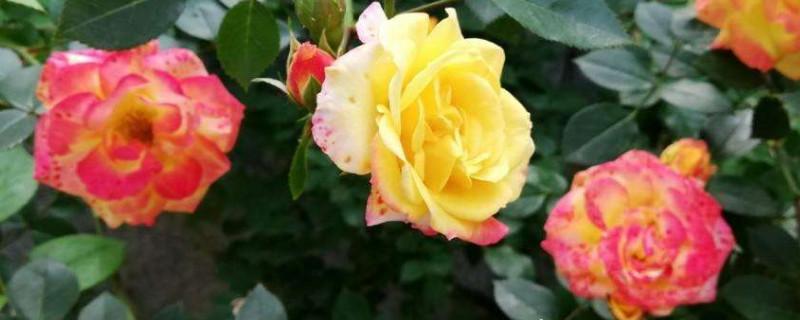 藤彩虹月季幾月開花
