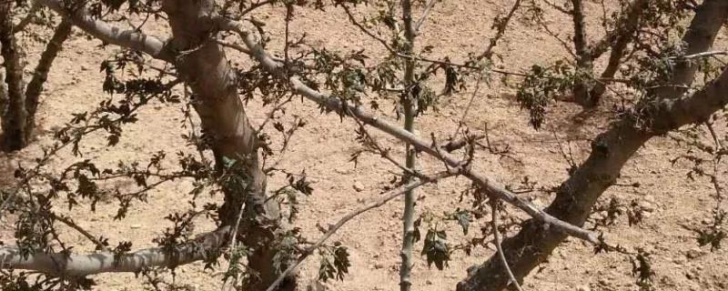 花椒树浇水为什么会死