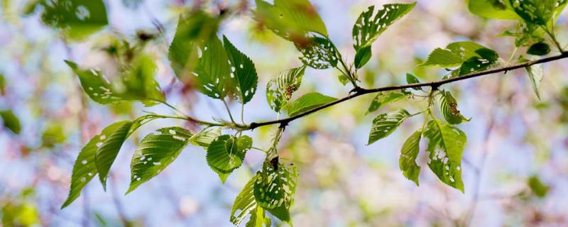 樱花树叶子枯萎干掉啥原因
