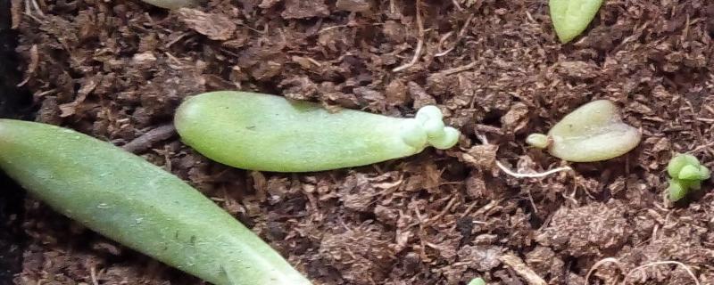 多肉叶插发芽后怎么养