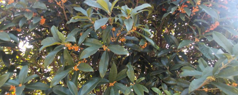 桂花树落叶了是什么原因应该怎样治疗