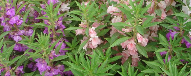 指甲花的种植方法和注意事项