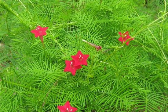 茑萝花的养殖方法