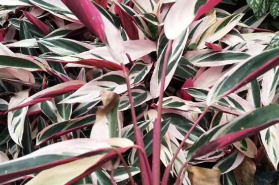 七彩竹芋的养殖方法和注意事项