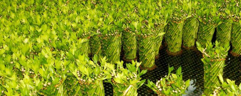 富贵竹的土壤养殖方法