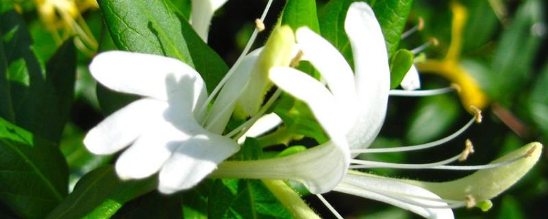金銀花是花嗎