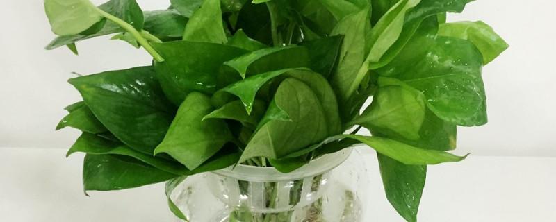 水培绿萝烂根是什么原因