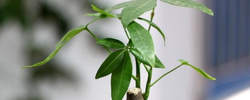小发财树能养大吗