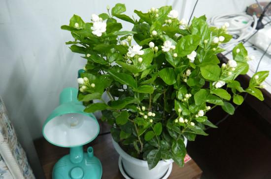 盆栽茉莉的养殖方法和注意事项