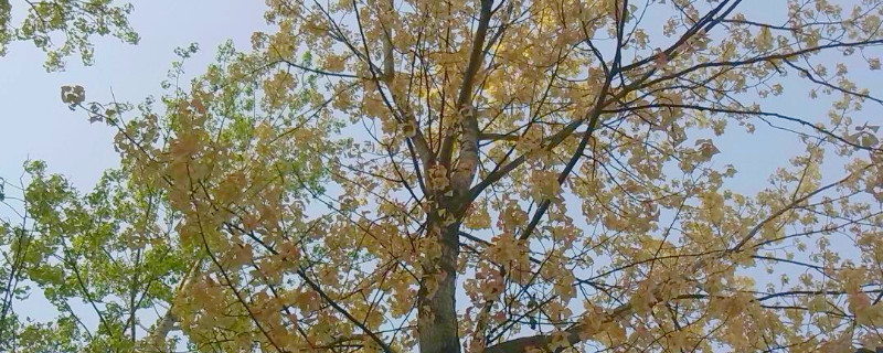杨树黄叶是怎样发生的
