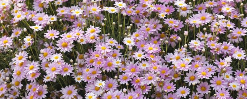 瑪格麗特一年開幾次花