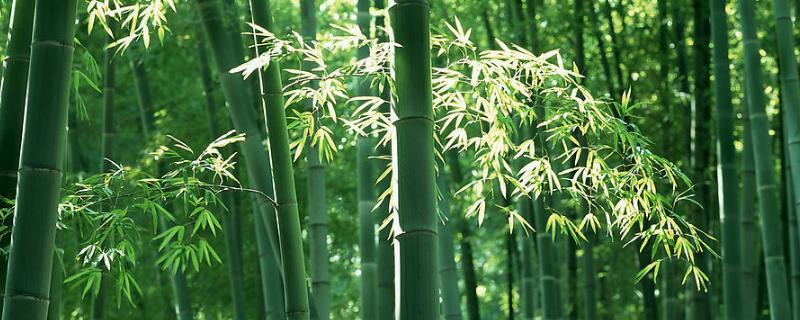 竹子叶子打卷还能活吗