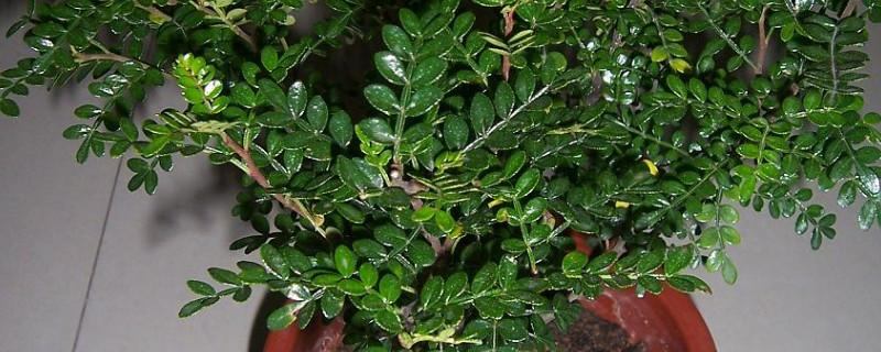 驱蚊树盆景的养殖方法