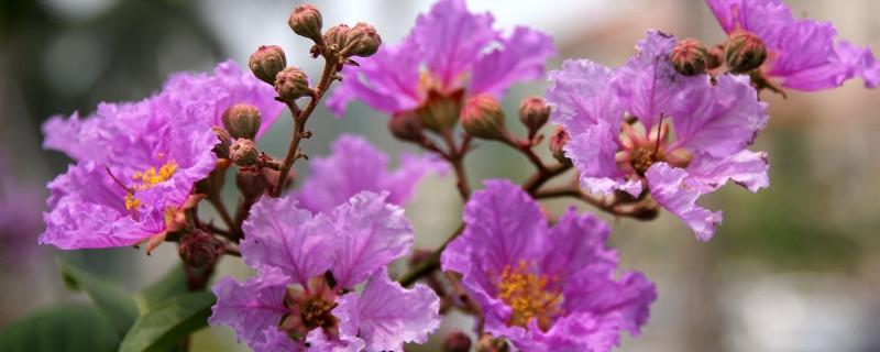 大花紫薇花语是什么
