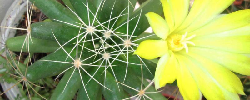 金星仙人球幾年開花