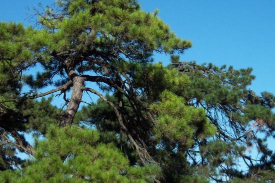 新西兰松和樟子松区别