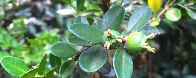 清香胡椒木的养殖方法和注意事项