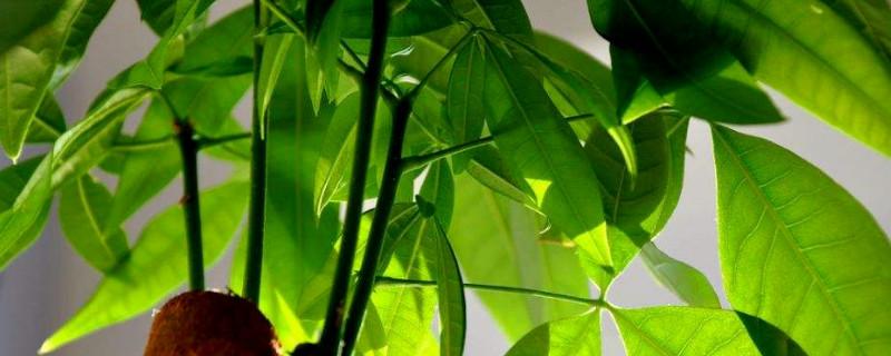 网上买的裸根发财树怎么上盆