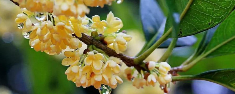 桂花树几年才会开花