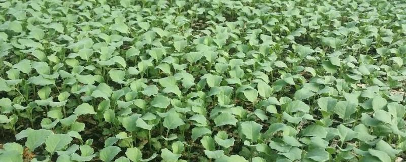 花菜幾月份播種子