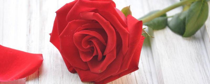 水養玫瑰花怎么養才不會枯萎