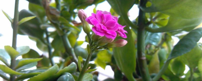 夏季长寿花适合放在哪里