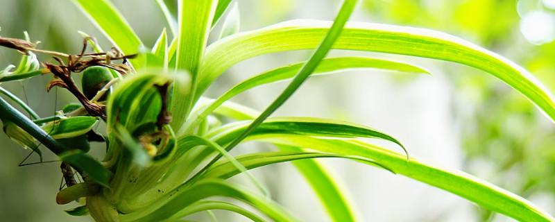 散尾葵移栽后多久生根