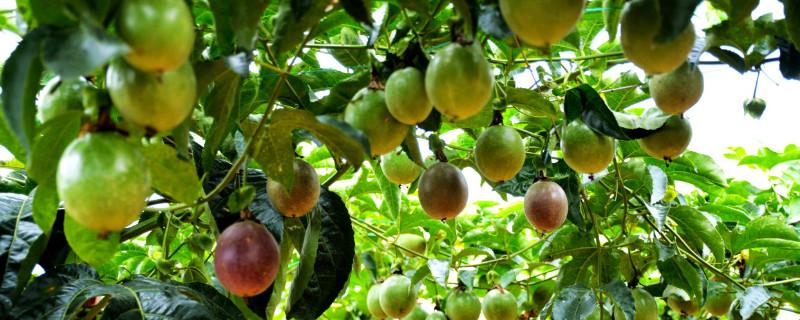 百香果怎样种植,多长时间才能挂果