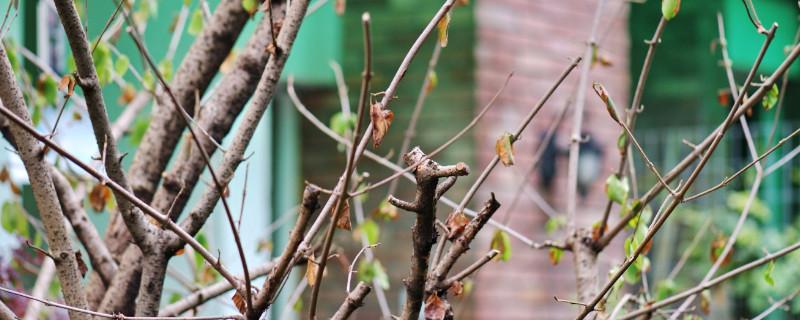 樱花树叶子突然枯萎怎么救治