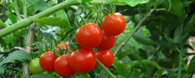 西红柿怎样打枝结果多