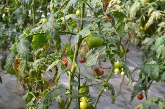 自家种的番茄有虫怎么办