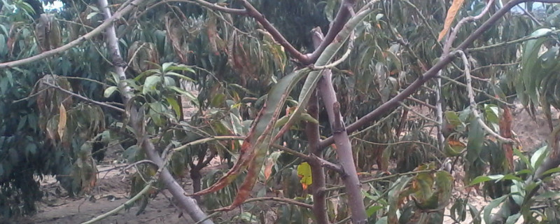 桃树黄叶病怎么治