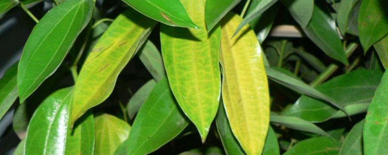 平安樹的葉子下垂還發干是怎么回事