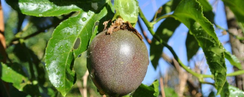 百香果籽可以种出来吗