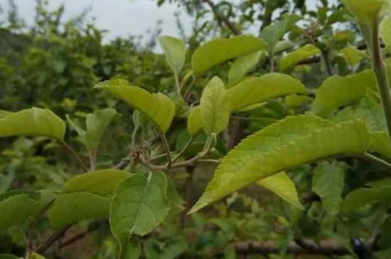 苹果树黄叶病怎么治疗