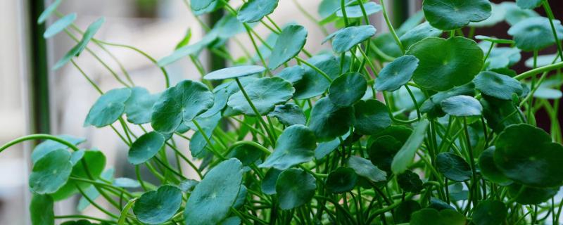 銅錢草葉子上有小黑點是什么