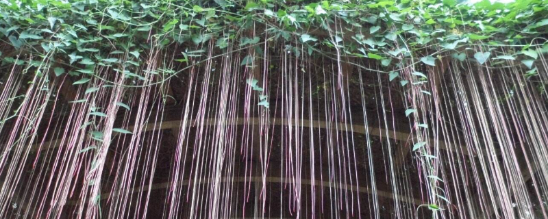 锦屏藤的种植方法