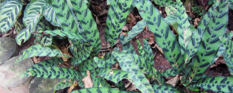 孔雀尾花的繁殖方法