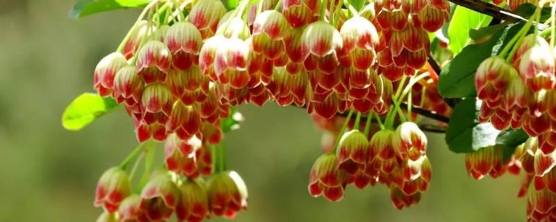 笼树什么时候开花