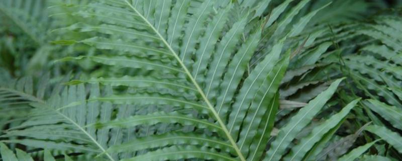 苏铁蕨的养殖方法和注意事项