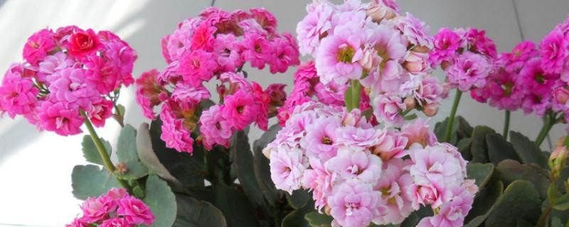 夏天长寿花怎么管理