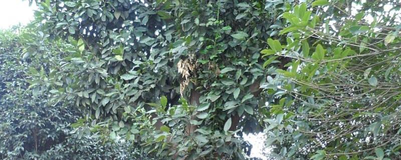香泡树什么时候开花什么时候结果