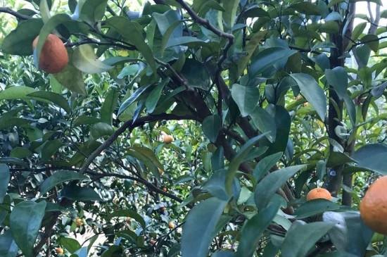 橘子树什么时候开花什么时候结果