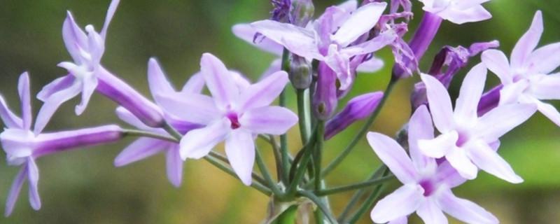 紫娇花的花期