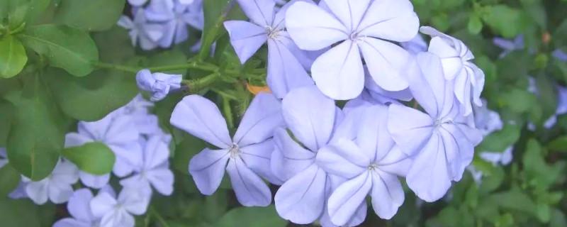 藍雪花的養殖方法和花期