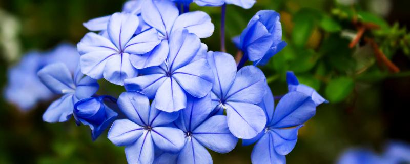 藍雪花的花期